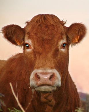 vaca-prueba.jpg