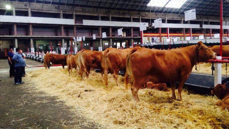 Exposición de Ganadería Ibiolimusín en Torrelavega